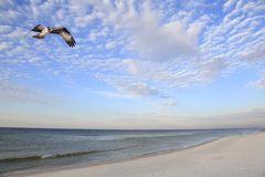 Osprey Returning from Ocean Fishing Trip Royalty Free Stock Image