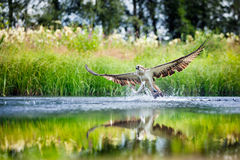 Osprey rising from a lake after catching a fish. With wings spread wide royalty free stock image