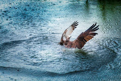 Osprey rising from water with spreaded wings. Osprey rising from dark water with spreaded wings stock images