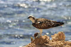 Osprey on a rock ledge eating fish Royalty Free Stock Photos