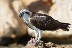 Osprey on the rock with the prey Royalty Free Stock Photos