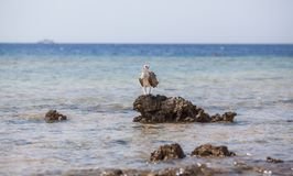Osprey on the rock Royalty Free Stock Photos
