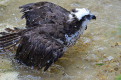 Osprey with Ruffled Feathers with Water Spraying Off Stock Photo