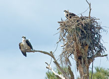 Osprey's nest Royalty Free Stock Photo
