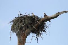 Osprey's in nest Stock Photography