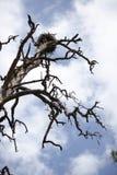Osprey's nest Stock Images