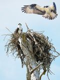 Osprey on It`s Nest While It`s Mate is About to Land. Osprey Sits on It`s Nest While It`s Mate Is About to Land Royalty Free Stock Photography