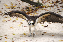 Osprey on the Sand Stock Image