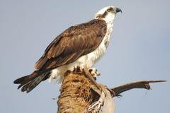 Osprey se encaramó en la palma Fotografía de archivo libre de regalías