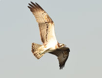 Osprey, Sea hawk, Fish eagle Stock Photos