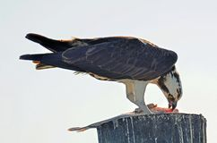 Osprey, or Seahawk Eating Fresh Caught Fish royalty free stock photography