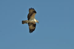 Osprey searching Stock Photography