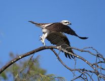 Osprey sets out. Osprey launches from its perch Stock Photography