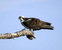 Osprey sigue siendo alerta Fotos de archivo libres de regalías