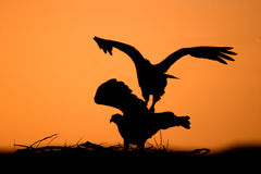 Osprey Silhouette. Two Osprey Sillouetts at night in their nest Stock Photos