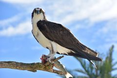 An osprey sits perched on tree with fish Royalty Free Stock Photo