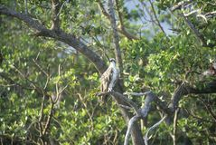 An Osprey sits in a tree at Everglades National Park, 10,000 Islands, FL Stock Image