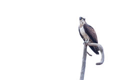 Osprey sitting on a branch. Against white background royalty free stock images