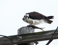 Osprey sitting with fish  on electrical pool and looking at camera royalty free stock photo