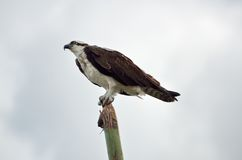 Osprey sitting on pole Stock Photos