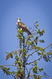Osprey sitting on top of tree. In Sweden Stock Photo