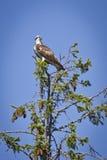 Osprey sitting on top of tree Stock Photo