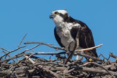 Osprey Royalty Free Stock Image