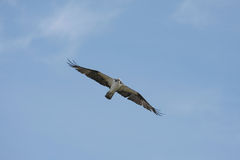 Osprey soaring Stock Photos
