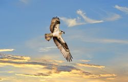 Osprey soaring above a sunst Stock Image