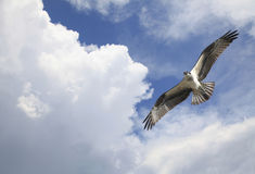 Osprey Soaring Among the Clouds Royalty Free Stock Photo