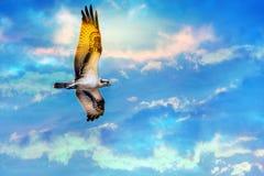 Osprey soaring high against a beautiful sky Stock Photos