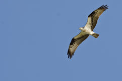 Osprey Soaring High in a Clear Blue Sky Stock Photos