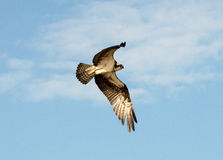 Osprey. Soaring high in look for food. royalty free stock photo