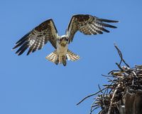 Osprey soaring overhead. The Osprey spent their time alternately guarding the nest and then flying off to catch a fish and bringing it back for their two chicks royalty free stock photo