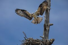 Osprey hovered over nest. The Osprey spent their time alternately guarding the nest and then flying off to catch a fish and bringing it back for their two chicks royalty free stock photos