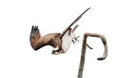 Osprey spreading its wings while diving. From a branch royalty free stock photography