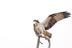 Osprey spreading its wings while sitting on a branch. Against white background stock photo