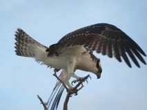 Osprey spreading wings perched on branch stock image