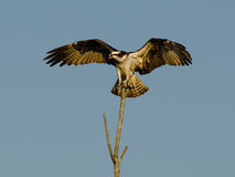 Osprey spreads wings from atop tree snag Stock Photography
