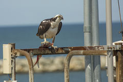 Osprey standing on dock structures with fish in its talons. Osprey, Pandion haliaetus, with a captured fish in its talons, standing on dock structures at the stock photography