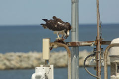 Osprey standing on dock structures with fish in its talons. Osprey, Pandion haliaetus, with a captured fish in its talons, standing on dock structures at the royalty free stock images
