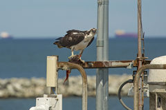 Osprey standing on dock structures with fish in its talons. Osprey, Pandion haliaetus, with a captured fish in its talons, standing on dock structures at the stock photo