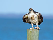 Osprey Standing on Piling with Fish Royalty Free Stock Photography