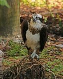 Osprey standing on roots. Osprey perched on a pile of roots on the forest floor Stock Photography