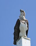 Osprey stares into sky. The osprey searches the skies for his mate Stock Photo