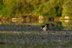 Osprey su una banca di un fiume. Fotografia Stock
