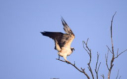 Osprey. Sundarban tiger wildlife sanctuary Royalty Free Stock Photography