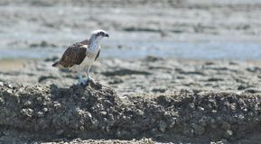 Osprey sur des roches images libres de droits