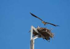 Osprey Take Off Stock Images