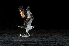 Osprey Takeoff V. Osprey in Flight Over Water After Catching a Menhaden Fish Stock Photography